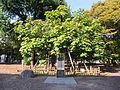 Phoenix Trees (China Parasol Trees) Exposed to the A-bomb 20131013-1.JPG
