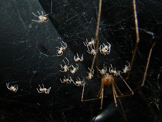 Parental investment - A cellar spider defending spiderlings.