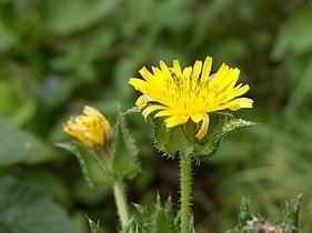 Picris echioides inflorescence.jpg