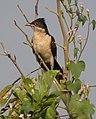 Pied Cuckoo Clamator jacobinus Juvenile by Dr. Raju Kasambe DSCN2857 (5).jpg