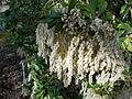 Pieris japonica 2015-04-16 508.jpg