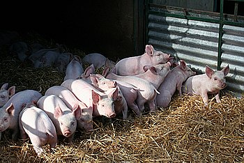 English: Piglets Inquisitive youngsters at Sca...