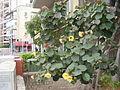 PikiWiki Israel 21008 Hibiscus tiliaceus sitriya.JPG