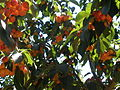 PikiWiki Israel 31447 Cherry fruits.JPG