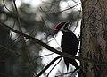 Pileated woodpecker (2397627848).jpg