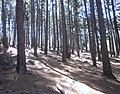 Pine Plantations at Newlands Forest - Cape Town 7.JPG