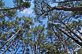 Pine in Ishikurayama - panoramio.jpg