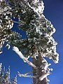 Pine tree atop Mountain High East, Wrightwood California, December 2010 - panoramio.jpg