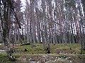 Pine woods, Ralia - geograph.org.uk - 680891.jpg