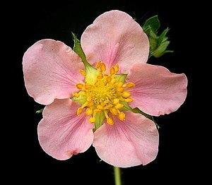 Fragaria × Comarum hybrids - Image: Pink Panda 5 ies
