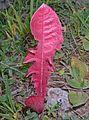 Pink dandelion.jpg