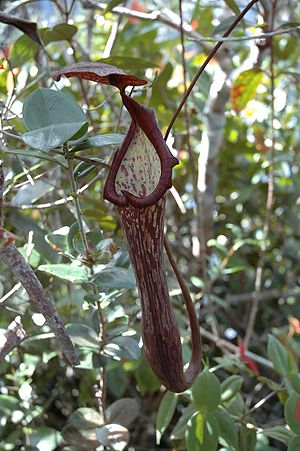Gunung Mulu National Park - An upper pitcher of Nepenthes faizaliana from Mount Api. This species is endemic to Gunung Mulu National Park.