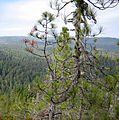 Pinus attenuata Big Basin 2.jpg