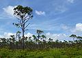 Pinus caribaea var bahamensis Lucayan National Park 2.jpg