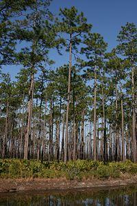 Pinus elliottii Okefenokee 1.jpg