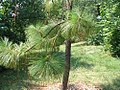 Pinus palustris 4zz.jpg