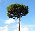 Pinus pinaster on Palatine Hill.jpg