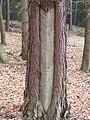 Pinus sylvestris - Harzlachte.JPG