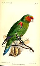 A green parrot with red shoulders and face, a light-blue forehead, violet-tipped wings, a blue-tipped tail, and grey eye-spots