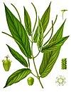 Piper angustifolium - Köhler–s Medizinal-Pflanzen-243.jpg