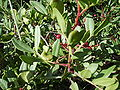 Pistacia lentiscus fruits.jpg