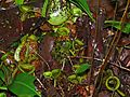 Pitcher Plants (Nepenthes ampullaria) (8411421872).jpg