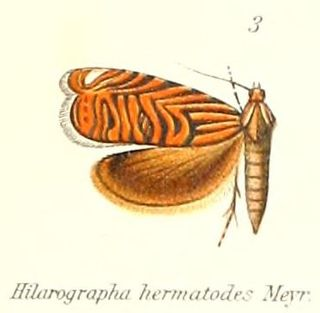 <i>Hilarographa</i> Genus of tortrix moths
