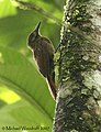 Plain-brown Woodcreeper (442644797).jpg