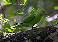 Plain Parakeet (Brotogeris tirica)-5.jpg
