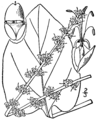 Plantago cordata BB-1913.png