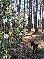 Plantas típicas da região. Flor de esteva (Cistus ladanifer) e pinheiros-bravos (Pinus pinaster) revestem as planícies e os montes.jpg