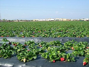 Plasticulture - Plastic mulch used for growing strawberries.