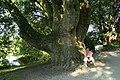 Platanus orientalis 1bJPG.jpg