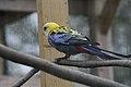 Platycercus adscitus -Kirkley Hall Zoological Gardens, Northumberland, England-8a (1).jpg