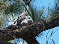 Podargus strigoides -Canberra, Australia -nest-8.jpg