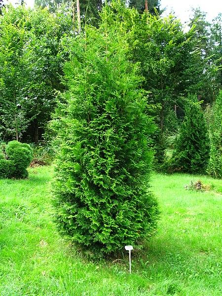 File:Podlaskie - Suprasl - Kopna Gora - Arboretum - Thuja occidentalis 'Brabant' - plant.JPG