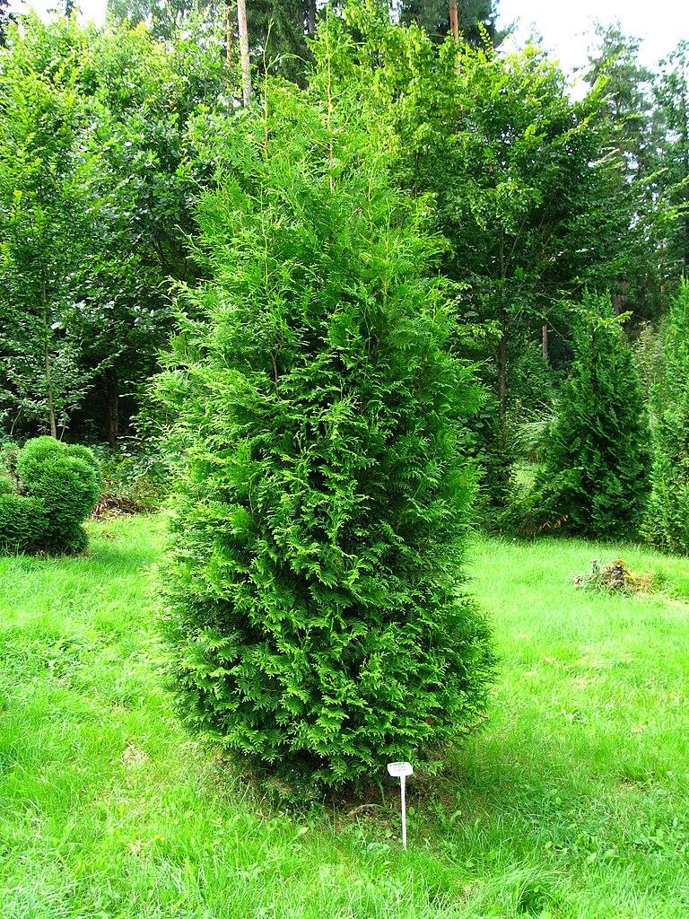 file podlaskie suprasl kopna gora arboretum thuja occidentalis 39 brabant 39 plant jpg. Black Bedroom Furniture Sets. Home Design Ideas
