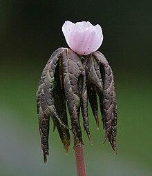Podophyllum peltatum – NutraWiki