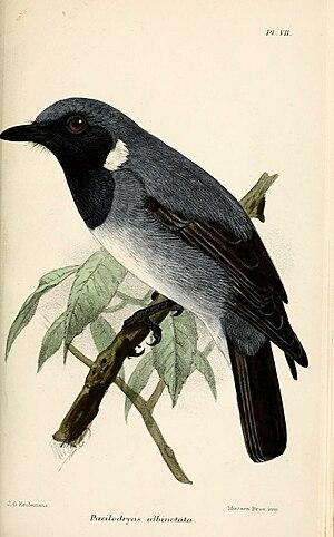 Black-throated robin - Illustration by Keulemans, 1879