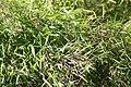 Pogonatherum paniceum 0zz.jpg