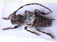 Pogonocherus hispidulus.jpg