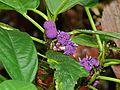 Poikilospermum sp. (Urticaceae) (8410307731).jpg