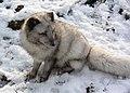 Polarfuchs im TierarkHellabrunn (12433793425).jpg