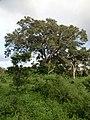 Polonnaruwa, Sri Lanka - panoramio (81).jpg