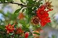 Pomegranate flowers in Iran (42207972034).jpg
