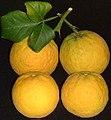 Poncirusfruits2001HD.jpg