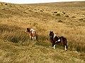 Ponies above Glasscombe Corner - geograph.org.uk - 1088498.jpg