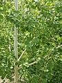 Populus tremula Topola osika 2020-07-02 01.jpg