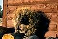 Porcupine NPS00672.jpg
