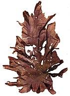 Porphyra umbilicalis Helgoland